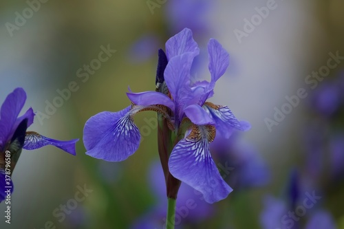 lila Iris, Schwertlilie, Sommerblume, Blüte der Iris, Pflanzen, Natur, Naturfotografie, Lilien, Blumen, Garten, Landschaft, Dekoration, Hochzeit