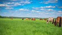 A Herd Of Horses Grazes In The Distance On A Green Field.