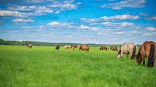 A Herd Of Horses Grazes In The...