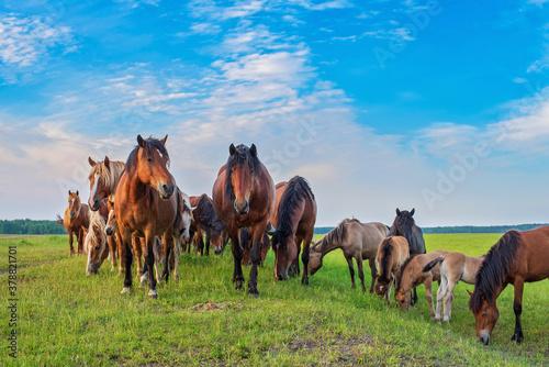 Fototapeta In the summer on a green field grazing herd of horses.