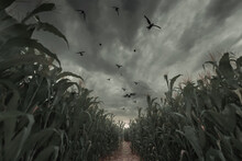 3d Rendering Of Aisle In The Middle Of Green Cornfield In Front Of Dramatic Sky And Flying Crows. Selective Focus