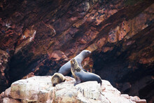 Three Seals On A Rock, Ballestas Islands, Paracas National Reserve, Paracas, Ica Region, Peru