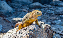 Galapagos - Plaza Sur- Land I...