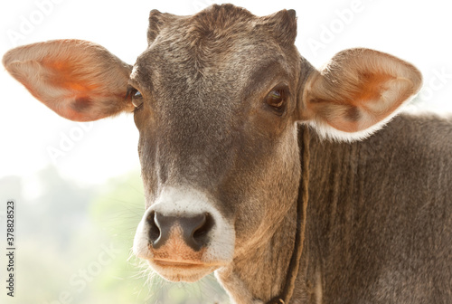Obraz na plátně Innocent cute calf closeup
