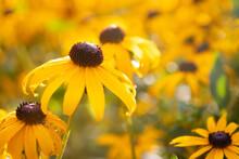 Yellow Black Eyed Susan Flowers