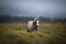 Wild Welsh Mountain Pony In Br...