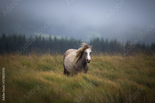 Wild Welsh Mountain Pony in Brecon Beacon National Park Fototapeta