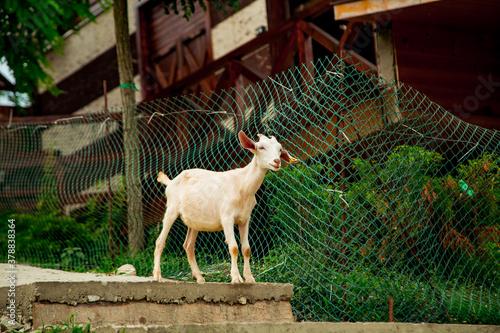 livestock, white goat walking on the farm Fototapet