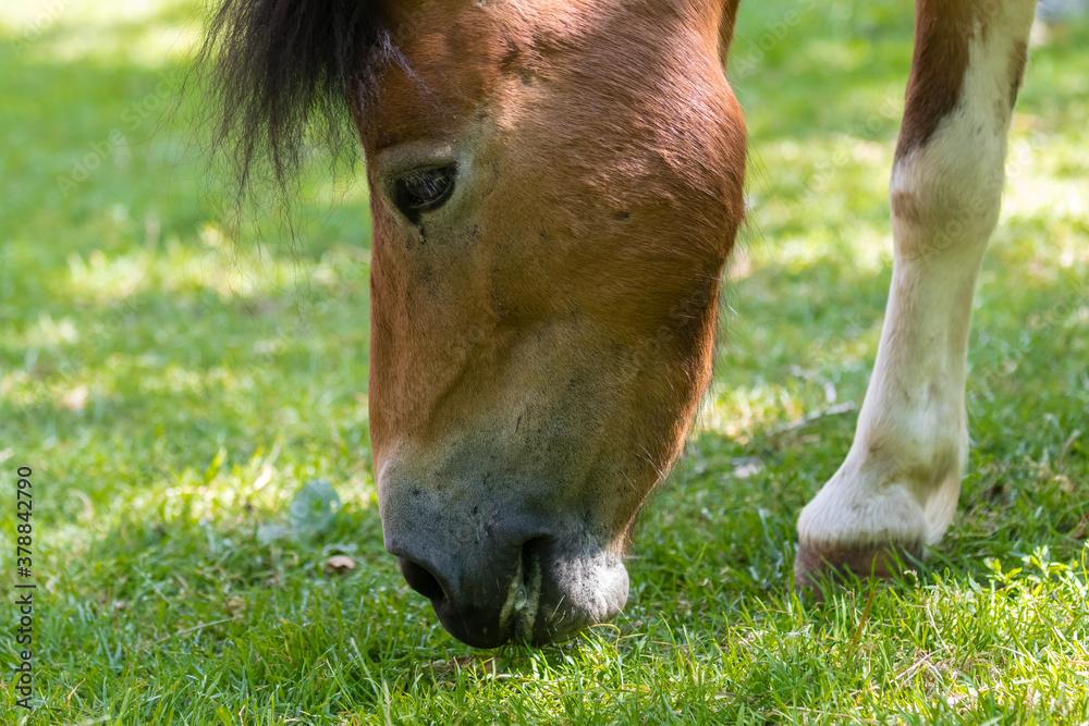 Fototapeta Koń podczas posiłku na łące - koń je trawę - posiłek konia