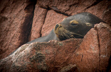 Sea Lion Resting On A Rock