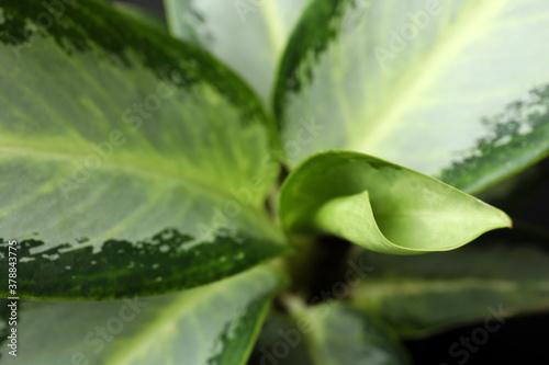 Cuadros en Lienzo Aglaonema with beautiful leaves as background, closeup
