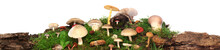 Panorama Of Several Kinds Of Colorful Mushrooms And Fungus On Green Mossy Log. Isolated On White.