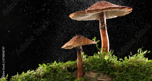 Fototapeta Mist of water drops on brown mushrooms on wet and humid green mossy log. Isolated on black. obraz