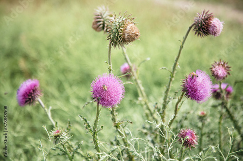 Fotografering Beautiful flower of purple thistle