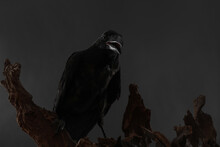 Beautiful Common Raven Perched...