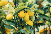 Add The Incredibly Fresh, Citrus Scent Of Lemon Blossoms To Your Home By Growing Lemon Tree. Growing Lemons At Home. Ripe Yellow Lemon Growing On Lemon-tree In Flowerpot. Tinted Background