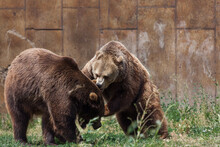 Grizzly Bear Conversation