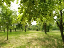Beautiful Deciduous Forest. Fragrant Linden Flowers. Photograph Taken From Under A Large Branch Of Linden. Bright Green Foliage. Blurred Bokeh In The Background.