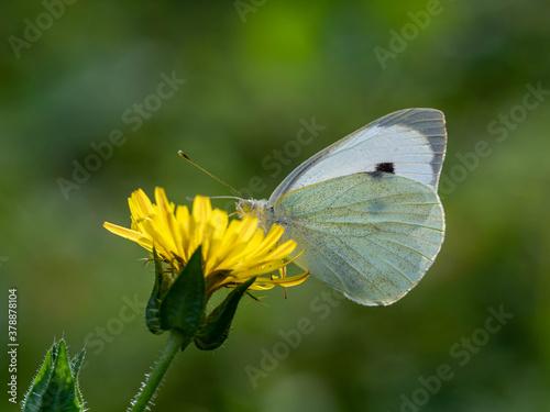 Fototapeta Papillon blanc sur fleur.