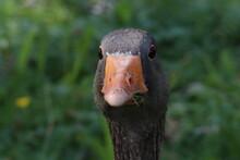 Close Up Photo Of Goose