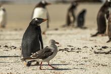 Gentoo Penguins At The Falklan...