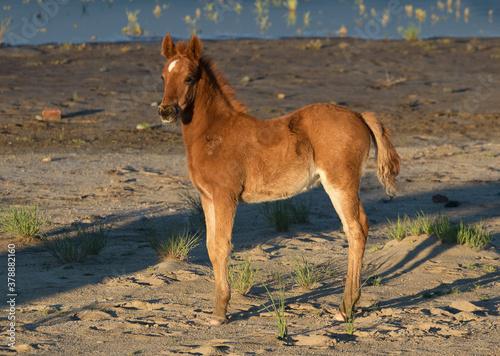 Fotografiet wild foal wild horse wild colt