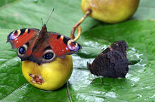 Colorful Butterflies Sitting On A Ripe Fallen Pear. Butterfly Drinking Juice. Fruit In The Garden. Selective Focus
