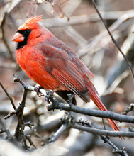 Northern Cardinal (Cardinalidae) Adult Male Perched On A Tree Branch. Central Park, New York, NY.