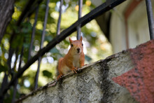Close-up View Of Cute Red Squi...