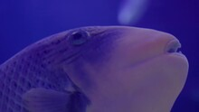 Cute Fishe Aquarium Under Violet Or Ultraviolet Undewater Background Ecosystem Magnificent Anthelia Marine Tranquil Close Up Slow Motion