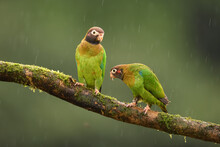 Brown-hooded Parrot Pair Perched On Branch In Rain