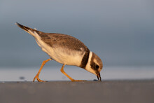 Waders Or Shorebirds, Ringed Plover On The Beach