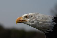 Bald Eagle, Haliaeetus Leucoce...
