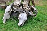 Fototapeta Sawanna - Czaszki bawołów i antylop. Jezioro Naivisha (Kenia)