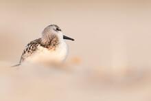 Waders Or Shorebirds, The Litt...
