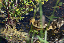 Two Ducklings Looking For Food...