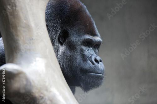 Gorille dos argenté Wallpaper Mural
