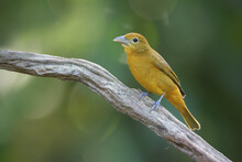 Summer Tanager Perched On Branch