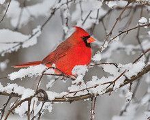 A Male Northern Cardinal Perches In Branches After A Fresh Snow Fall - Ontario