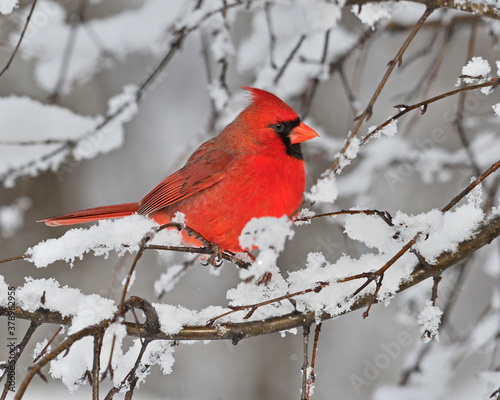 Vászonkép a male Northern Cardinal perches in branches after a fresh snow fall - Ontario