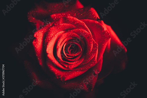 Obraz Top-view and close-up image of droplets on beautiful blooming red rose flower on black background. Valentine day concept.  - fototapety do salonu