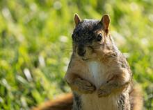 Eastern Fox Squirrel Is Serach...