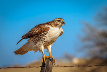 A Red-tailed Hawk (Buteo Jamaicensis) Perched On A Pole