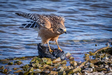 Red-shouldered Hawk (Buteo Lineatus) Guarding A Kill On A Lakeshore