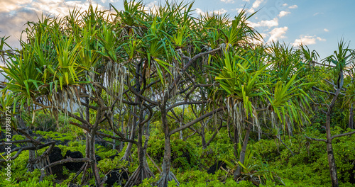 Fotografie, Obraz Pu hala tree or thatch screwpine (Pandanus tectorius). Hawaii