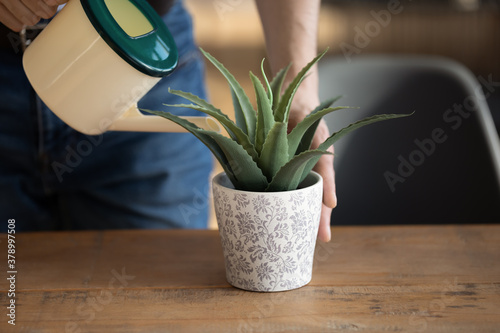 Obraz na plátně Crop close up of man hold pot can pour liquid watering green house plant, decorating office or house