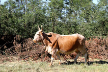 Landscape Photo Of A Nguni Bull Strolling Along A Dirt Road Near QwaQwa, Eastern Free State, South Africa. Blue Sky. Nguni, Long Horns. Wall-Art
