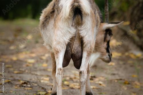 Obraz Koza domowa Capra hircus i wymiona pełne mleka - fototapety do salonu