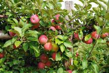 Fresh Apples Growing On Trees ...