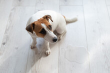 Guilty Dog Jack Russell Terrie...